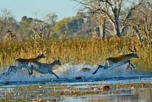 CLOSE-UP OF Lechwe Antelope Running In Water