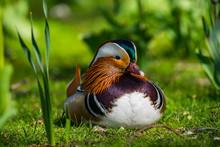Mandarin Duck Resting On Field