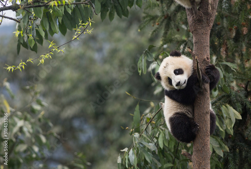 Photo Giant panda, Ailuropoda melanoleuca, approximately 6-8 months old, clutching on to a tree high above the ground