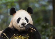 Portrait Of A Giant Panda, Ailuropoda Melanoleuca, Eating Bamboo.