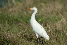 Cattle Egret In Florida Marsh
