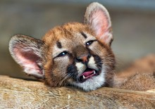 Puma Cub With Open Mouth Lies ...