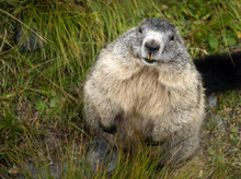 CLOSE-UP OF Groundhog ON GRASS