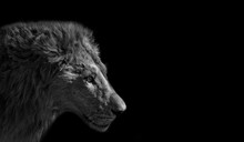 Close Up Head Of Male Lion Iso...