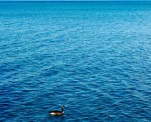Canada Goose Swimming In Sea