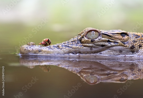 Leinwand Poster Close-Up Of Ladybug On Crocodile In Lake