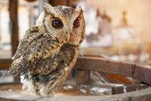 Portrait Of Little Brown Owl