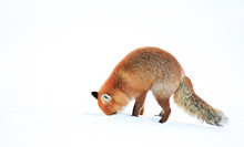 Side View Of Red Fox Hunting In Deep Snow