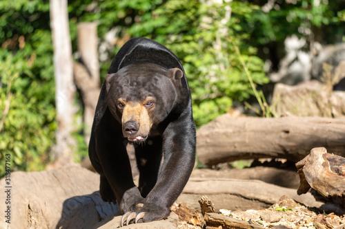 Fotomural  Sun bear, known as a Malaysian bearm, Helarctos malayanus, in sunny day