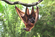 Female Of Flying Fox With Cub