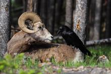 Raven Perching On Bighorn Shee...