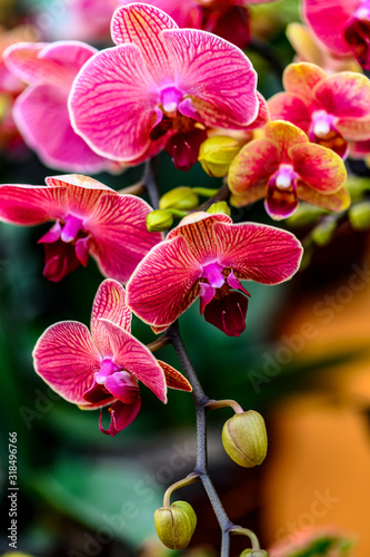 Photo Blooming phalaenopsis orchid