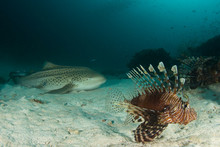 Lion Fish And Leopard Shark