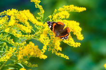 Flower Of Solidago Commonly C...