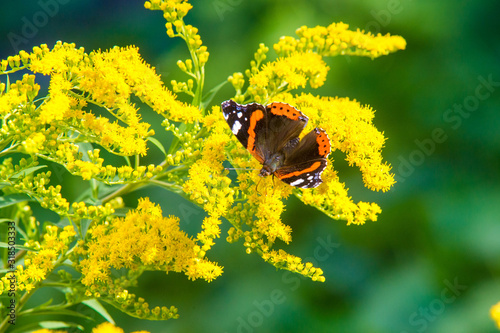 Photo flower of Solidago commonly called goldenrods comes from North America includin