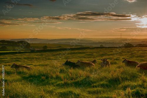 Cows On Grassy Field Against Sky During Sunset - fototapety na wymiar