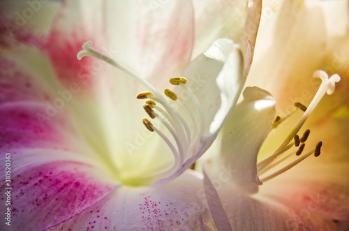 Photo Amaryllis flower stamens and pestle closeup