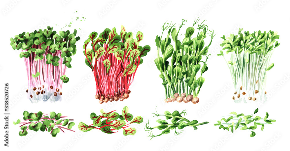 Fototapeta Microgreen spruits set. Vegan and healthy eating concept, Seed Germination. Hand drawn watercolor illustration, isolated on white background - obraz na płótnie