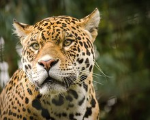 Close-Up Of Jaguar Looking Away