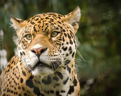 Close-Up Of Jaguar Looking Away Tableau sur Toile