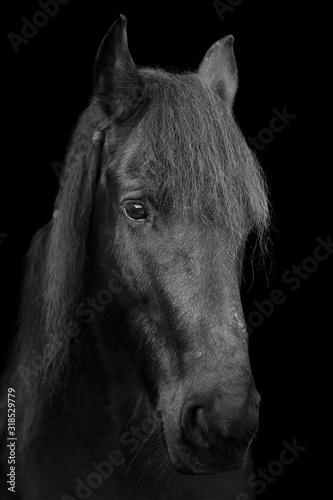 Fototapety, obrazy: Friesen Pferd Porträt mit schwarzem Hintergrund