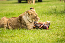 Lioness Eating Dead Animal On Grassy Field
