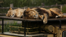 Close-Up Of Lion And Lioness Sleeping At Zoo
