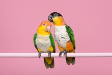 Two Caique Parrots Caring For ...