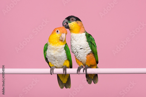 Two caique parrots caring for each other on a pink background