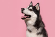 Portrait Of A Siberian Husky L...