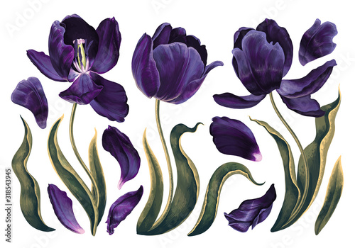 Fototapeta Set of floral elements with dark violet, navy blue tulips flowers leaves and petals. Hand drawn, vector, realistic flowers for wedding invitation, patterns, wallpapers, fabric, wrapping paper, print obraz