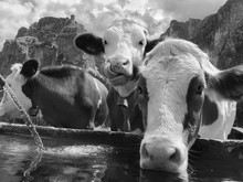 Portrait Of Cows Drinking Water Against Sky