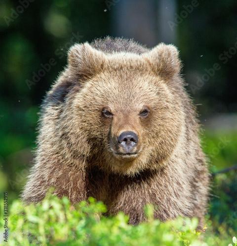 Valokuvatapetti Portrait of Cub of Wild Brown bear (Ursus Arctos Arctos) in the summer forest
