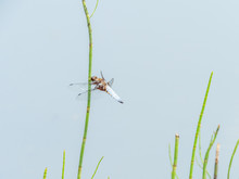 Broad-bodied Chaser Or Broad-bodied Darter. On Reed