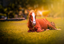 Portrait Of Horse Resting On Field