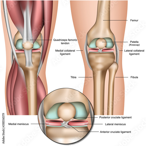 Knee and meniscus anatomy medical vector illustration isolated on white backgrou Canvas Print