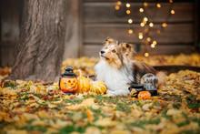 Halloween. Portrait Of Shetlan...