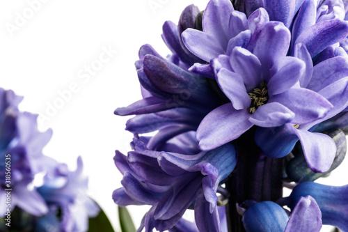 Photo Hyacinth on white.