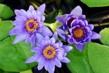 Beautiful Purple Lotus Or Wate...