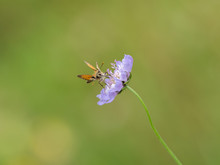 Small Skipper ( Thymelicus Sylvestris) Butterfly On A Scabious