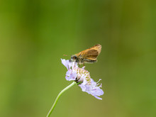 Small Skipper ( Thymelicus Syl...