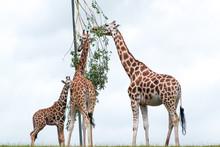 Giraffes Eating Branches Against Sky