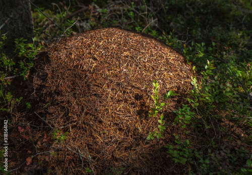 Big anthill in the forest Canvas Print