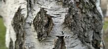 Birch Trunk. Close-up Of Birch...