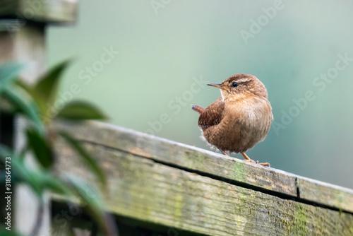 Wren bird perched on a fence which is a common British garden songbird found in Canvas-taulu