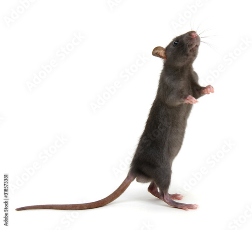 Photo Rat standing on hind legs on white