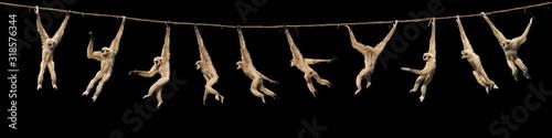 Canvas-taulu GIBBON A MAINS BLANCHES hylobates lar