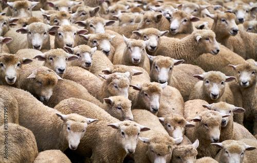 Flock of sheep Tableau sur Toile
