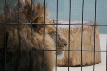 Close-Up Of Lion Sleeping In Cage