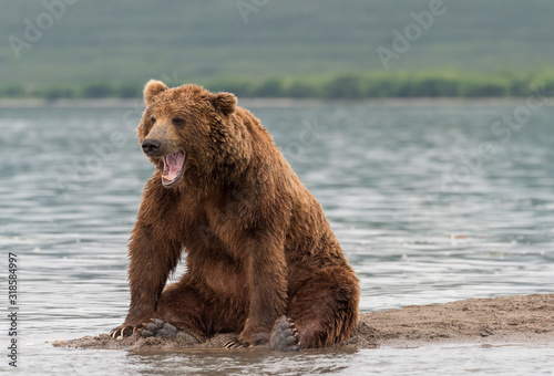 Valokuvatapetti Grizzly Bear Sitting On Riverbank